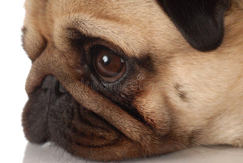 Pug dog profile royalty free stock image