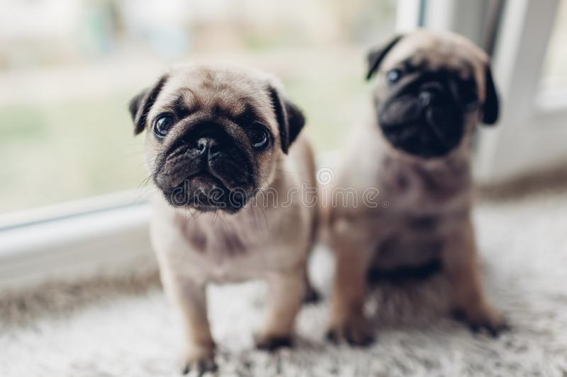 Pug dog puppies sitting on window sill. Little puppies siblings. Breeding dogs stock image