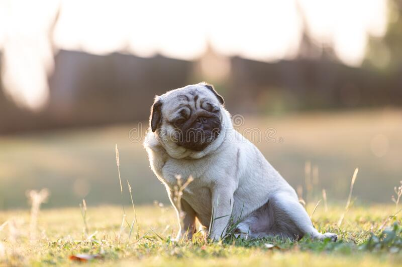 Pug dog running on green grass with happiness and having fun. Pug dog sitting on green grass with happiness and having fun with sunset,Healthy dog  Concept,Warm stock photography