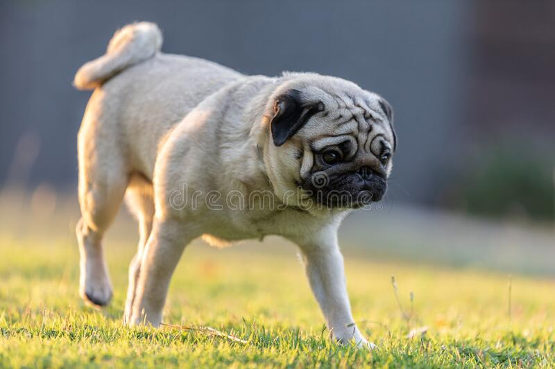 Pug dog running on green grass with happiness and having fun. Pug dog walk on green grass with happiness and having fun with sunset,Healthy dog  Concept,Warm stock photo