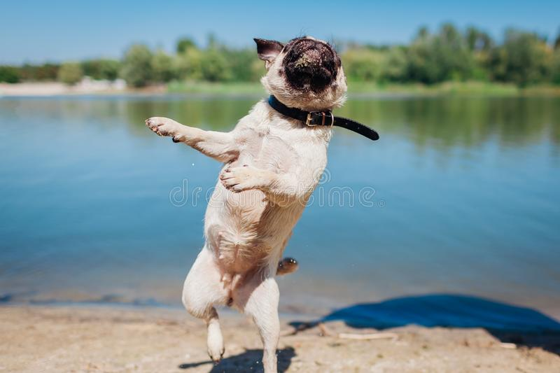 Pug dog running and jumping by river. Happy puppy having fun outdoors royalty free stock photo
