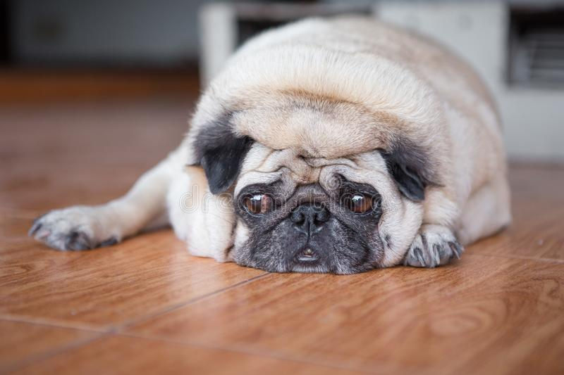 Pug dog sad face. Close up stock images