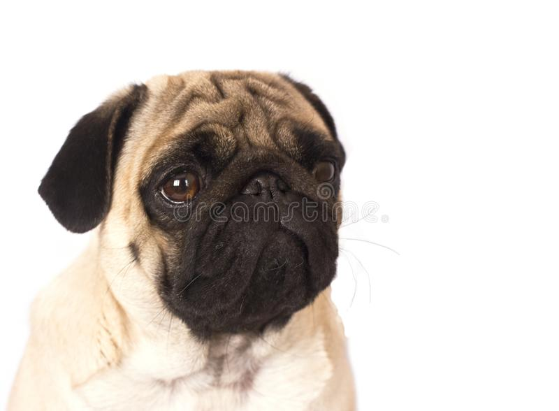 The pug dog sits and looks with sad big eyes. The pug dog sits and looks with the sad big eyes stock images