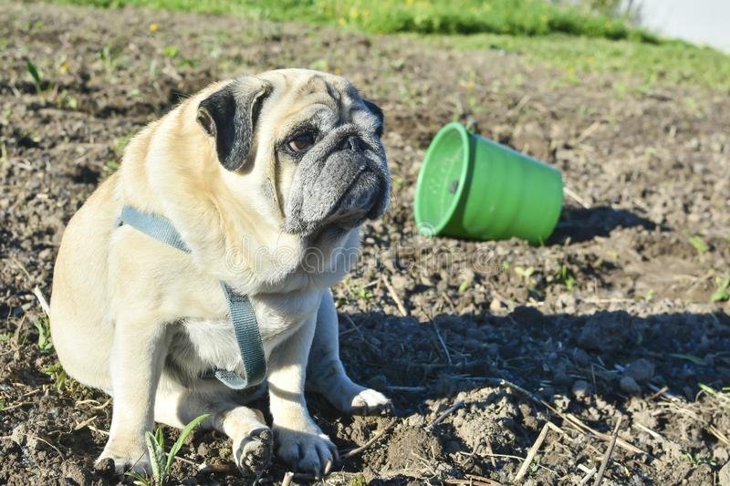 Pug dog sitting on the dug up ground. Green bucket lies on its side. The concept of health problems in dogs, fatigue, difficulties. In the garden royalty free stock photography