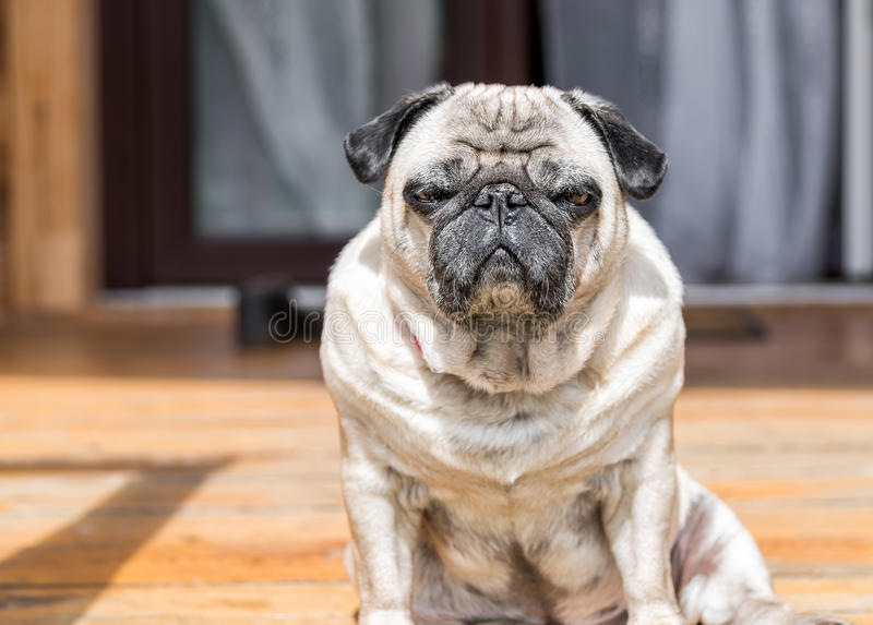 Pug dog sitting on the wooden floor royalty free stock photography
