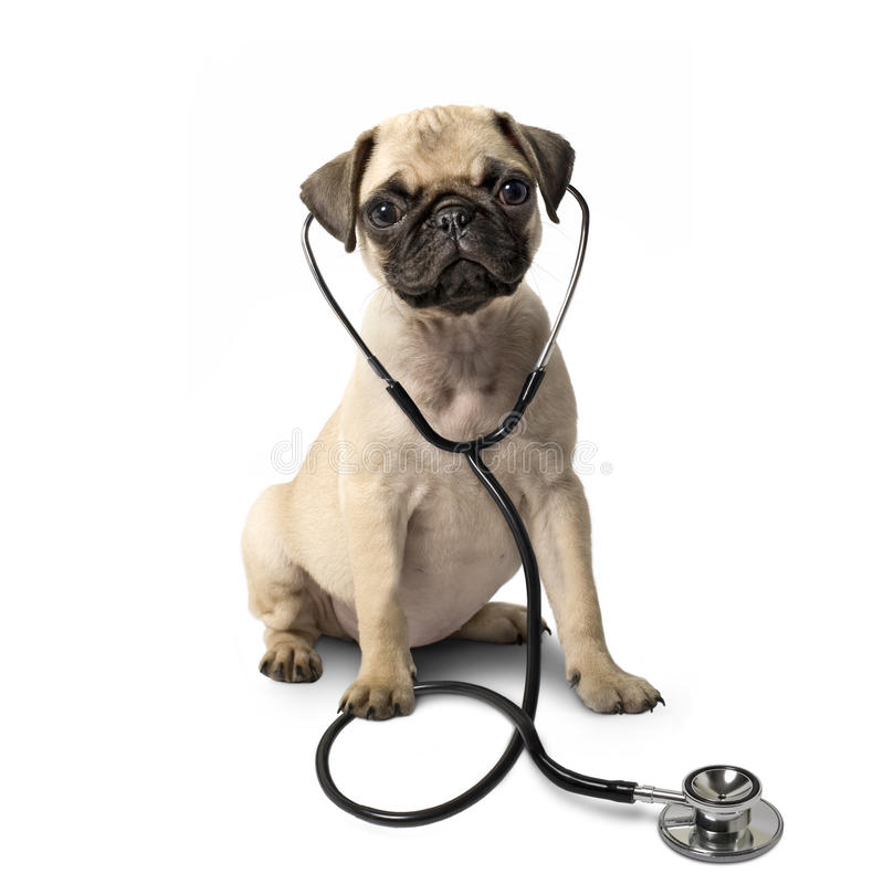 Pug dog and a stethoscope. Isolated royalty free stock photos