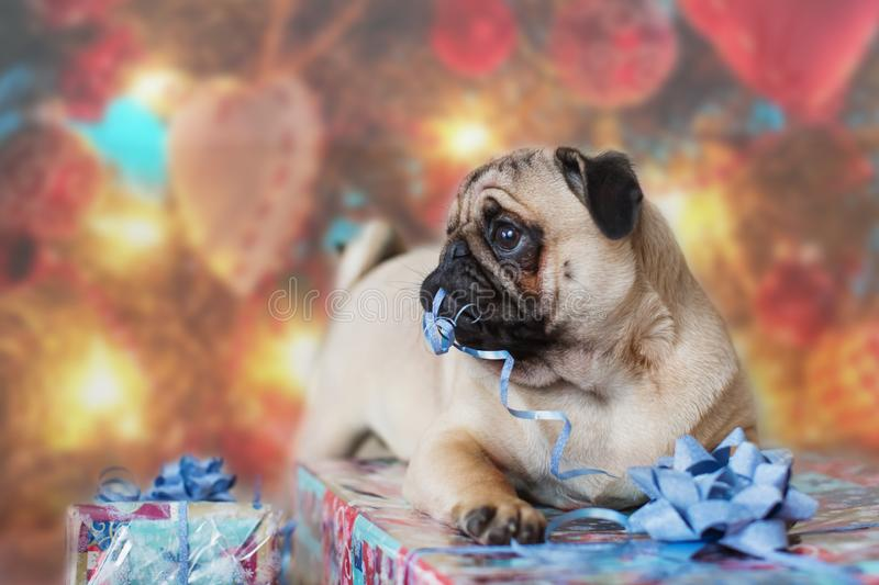 A pug dog is surrounded by New Year`s gifts. Christmas concept. royalty free stock photos