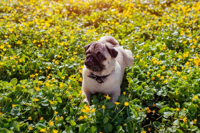 Pug dog walking in spring forest. Puppy lying among yellow flowers in the morning and having rest stock images