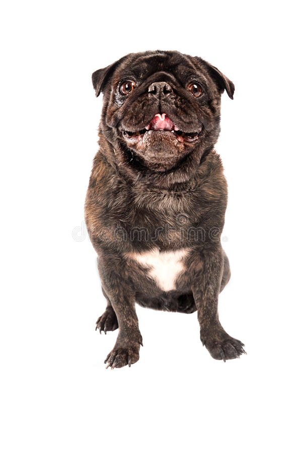 Download A pug dog on white stock image. Image of mammal, bully - 41780653