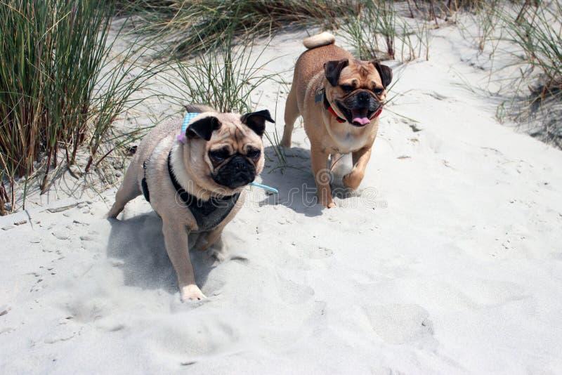 Pug Dogs on a beach exploring. Pug cross dogs exploring a beach royalty free stock photos