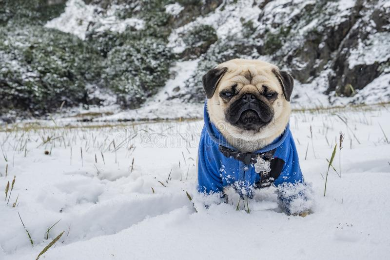 Pug dressed in blue jacket standing on the snow looking at the camera stock images