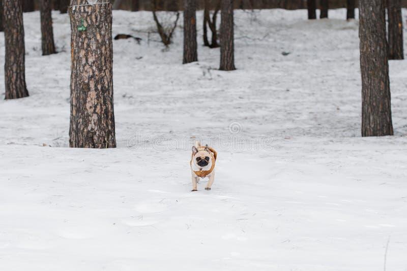 Pug in een bontjas loopt in de winter stock afbeelding