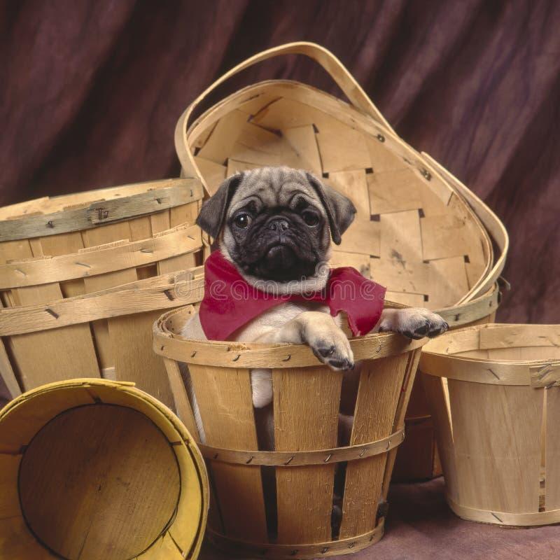 Pug in einem Korb lizenzfreie stockbilder