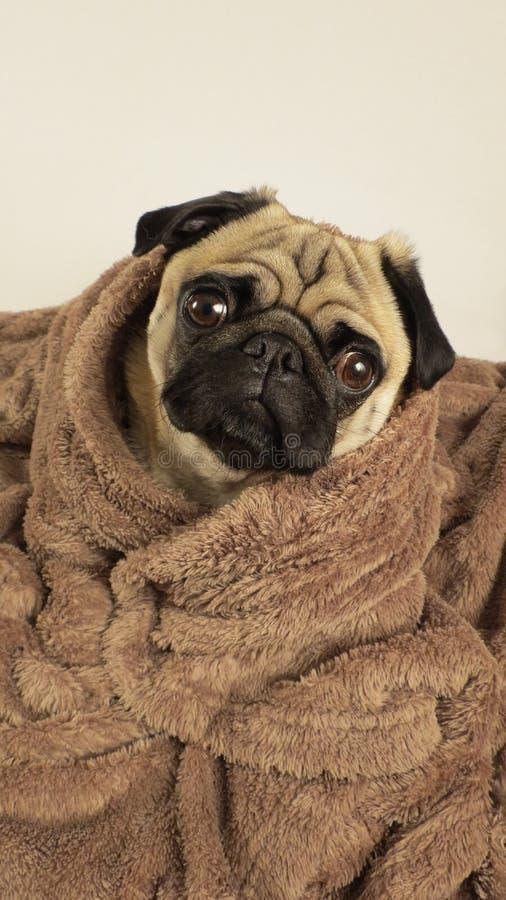 Pug eingewickelt in der Decke lizenzfreie stockbilder