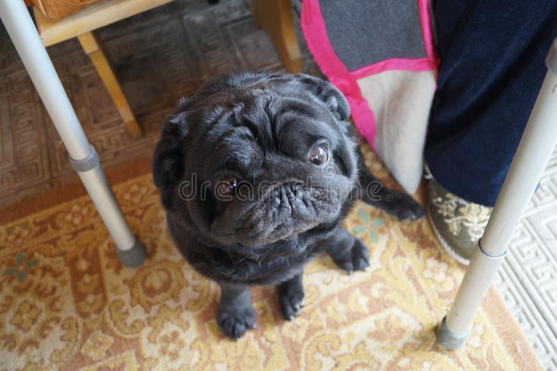 Pug about an elderly man. in the legs next to the walker for the disabled. the dog is sitting on the floor royalty free stock images