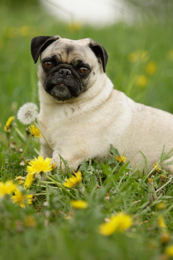 Pug in fiori fotografie stock
