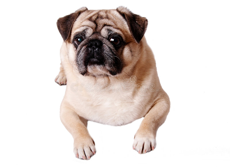 pug hond stock foto