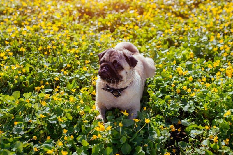Pug hond die in de lente bospuppy lopen die onder gele bloemen in de ochtend liggen en rust hebben stock afbeeldingen