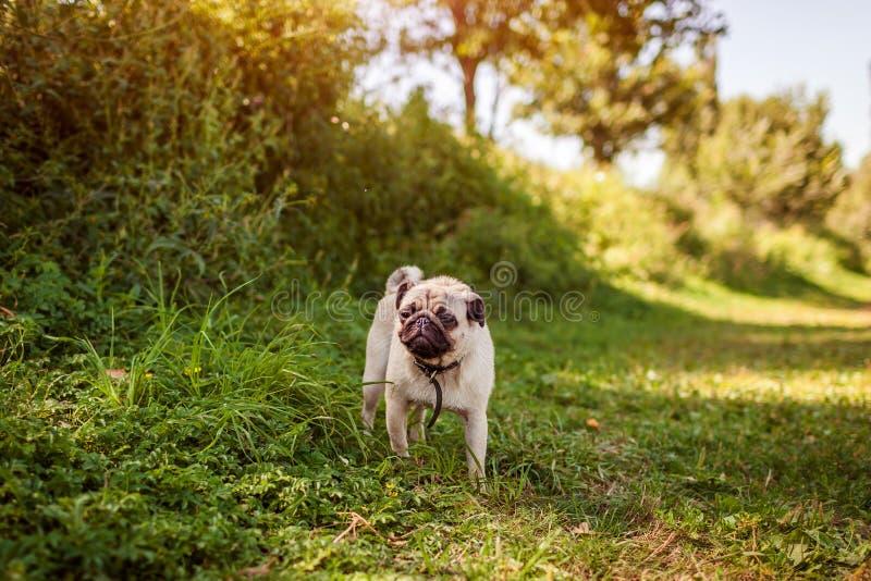 Pug hond die onder groen gras lopen Gelukkig puppy die rust Hond hebben die van aard genieten stock fotografie