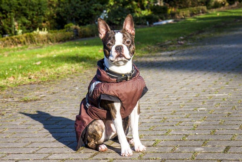 Pug hond met jasje op een koude de winterochtend stock afbeelding