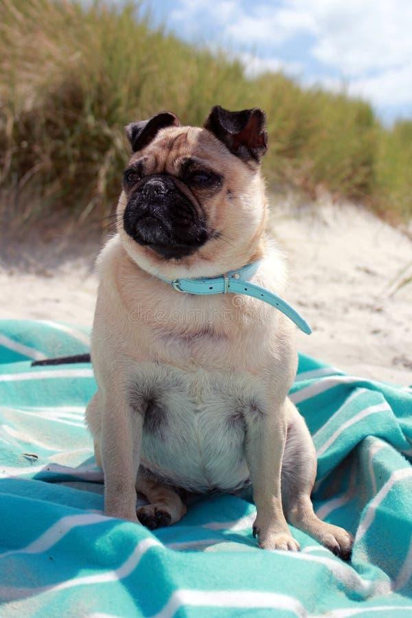 Pug Hond op een strandportret dat wordt gezeten stock foto
