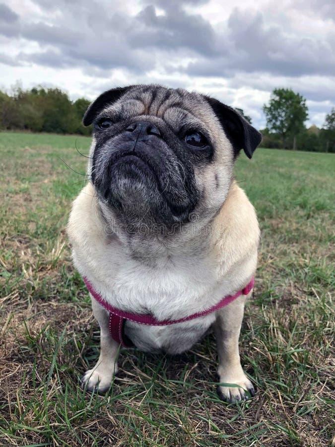 Pug hond op gras wordt gezeten dat stock afbeeldingen