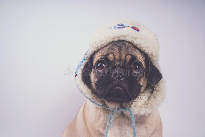 Pug, hond op witte achtergrond Leuk vriendschappelijk vet mollig pug puppy Huisdieren, hondminnaars, op wit worden geïsoleerd dat royalty-vrije stock fotografie