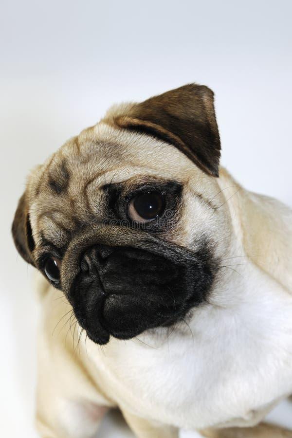 Pug hond, puppyportret