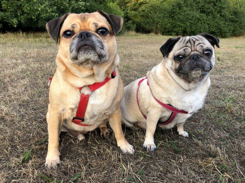 Pug honden op een gebied worden gezeten dat royalty-vrije stock foto's