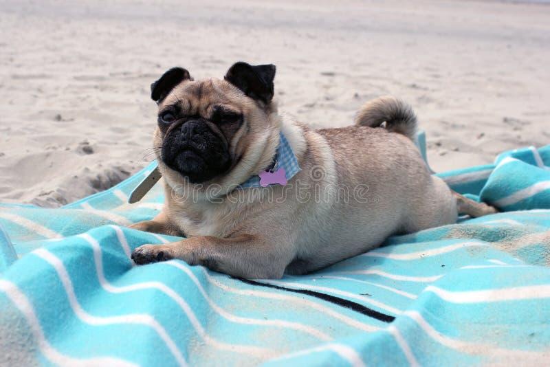 Pug Honden op een strandlandschap dat worden gezeten stock foto's