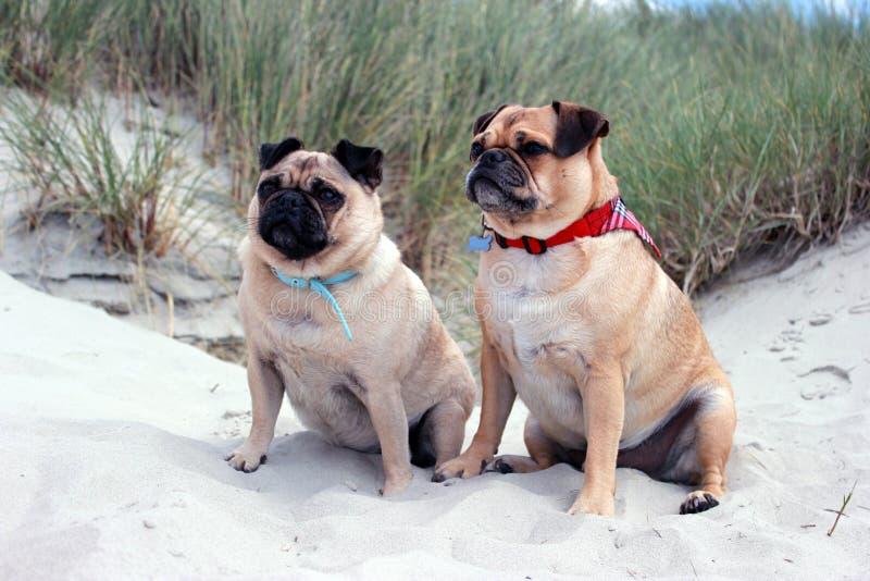 Pug Honden op een zandig strandlandschap dat worden gezeten stock foto