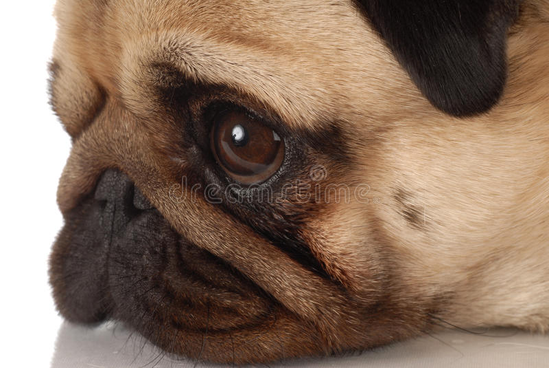 Pug hondprofiel royalty-vrije stock afbeelding