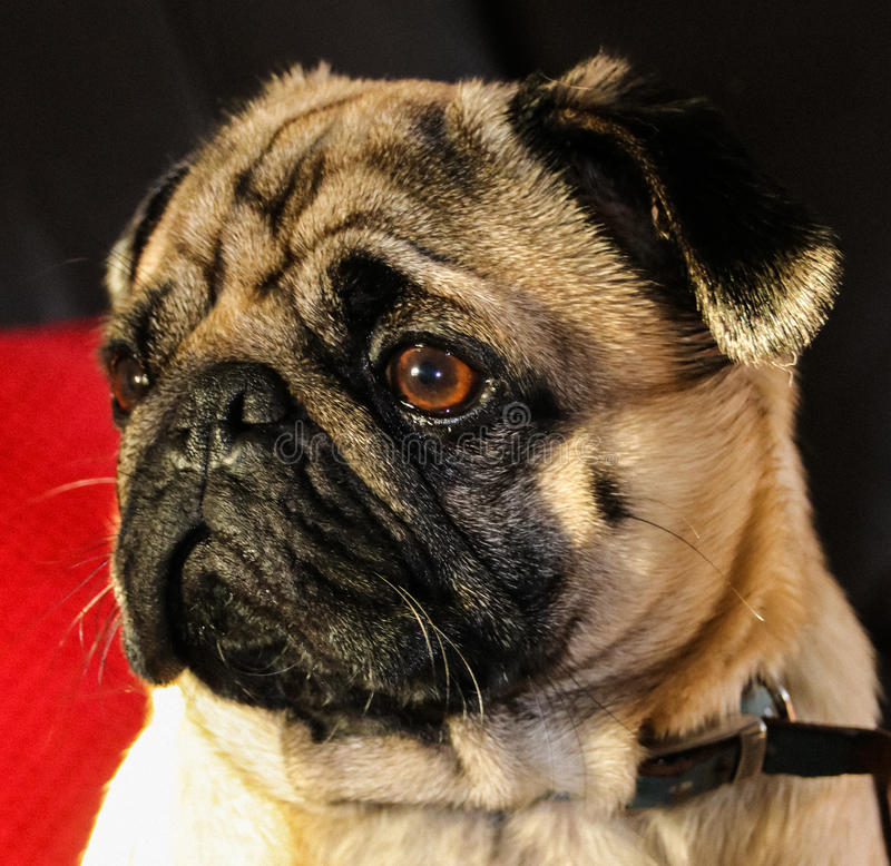 Pug hondras royalty-vrije stock afbeelding
