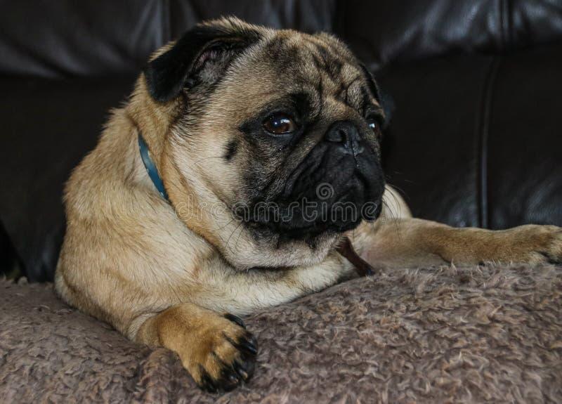 Pug hondras royalty-vrije stock foto's