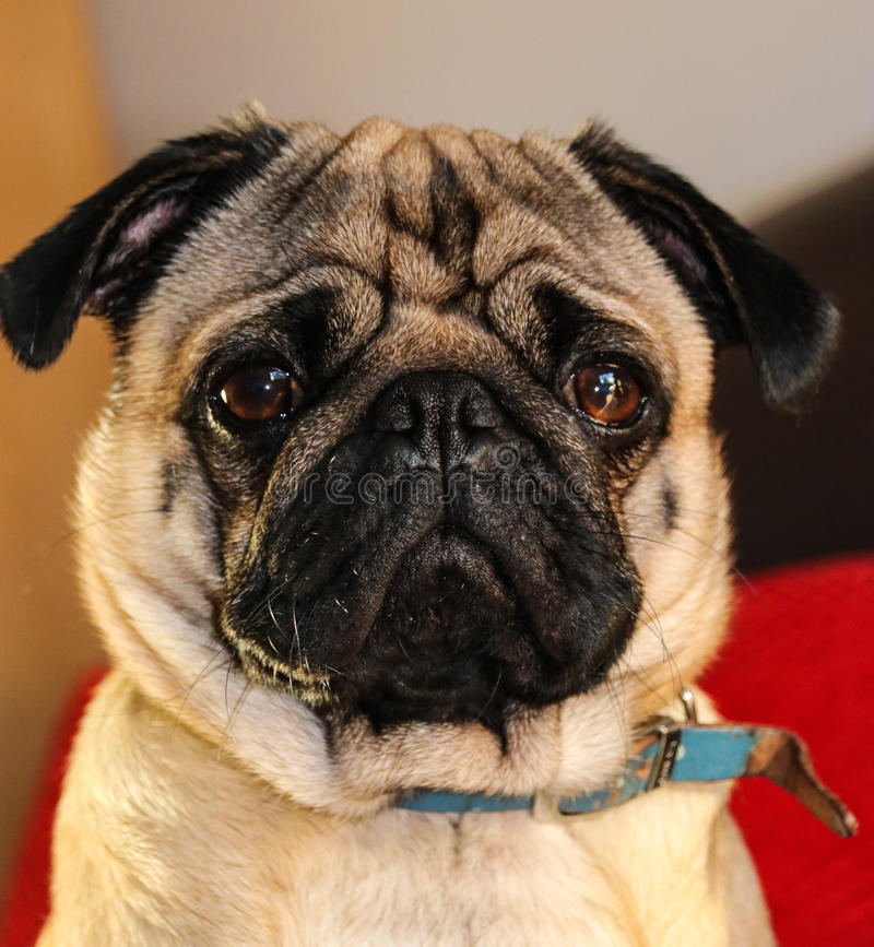 Pug hondras royalty-vrije stock foto
