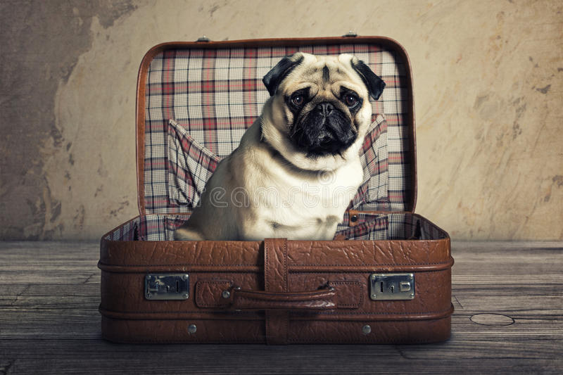 Pug im Koffer lizenzfreies stockbild