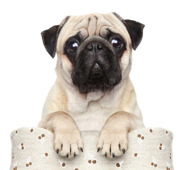 Pug im Korb stockfoto