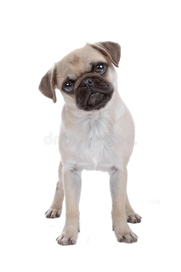 Pug isolated on white royalty free stock images