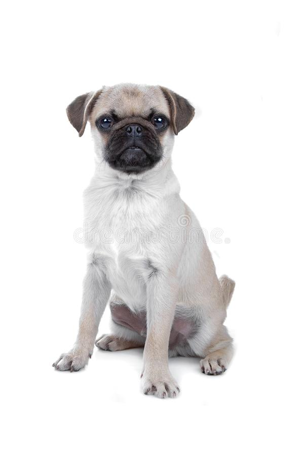 Pug isolated on white royalty free stock photography