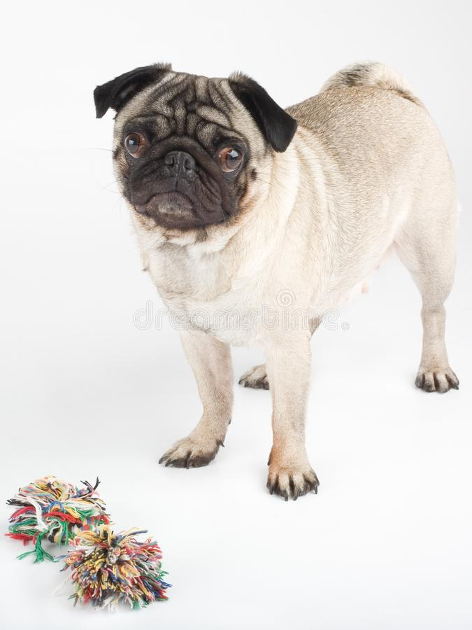 A pug, isolated on white royalty free stock image
