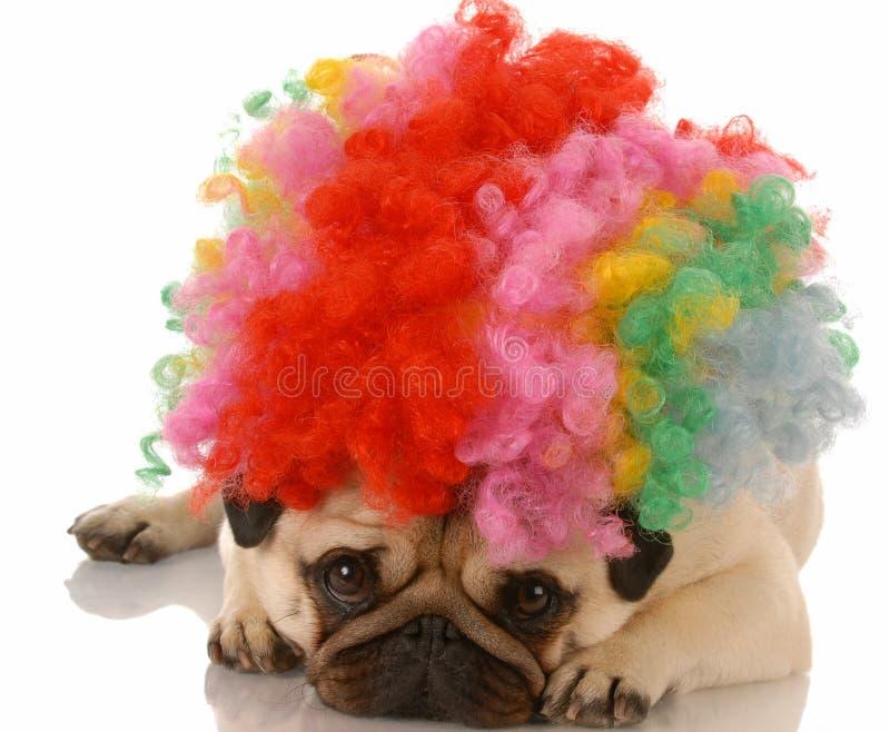 Pug kleidete oben als Clown an lizenzfreie stockfotos