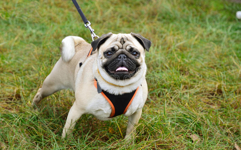 Pug On The Leash Stock Photo