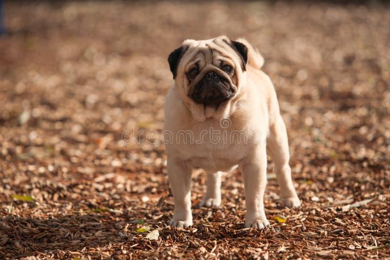Pug leuke hond royalty-vrije stock afbeelding