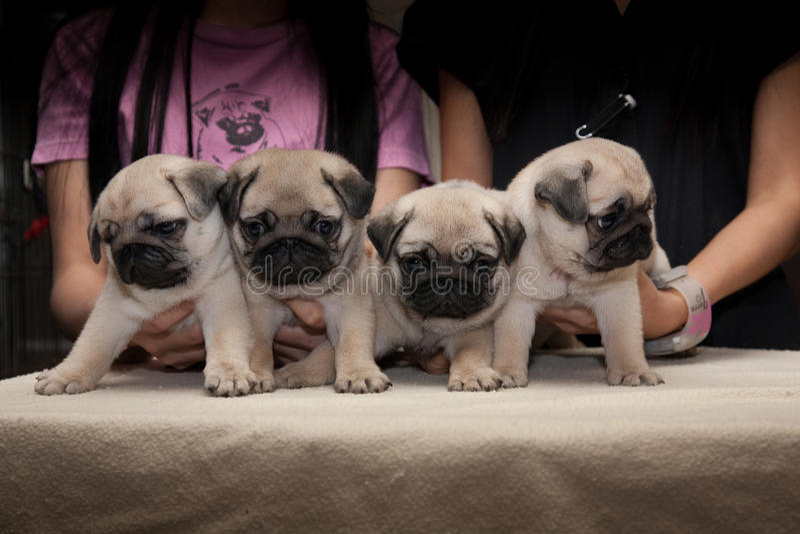Pug leuke hond royalty-vrije stock fotografie