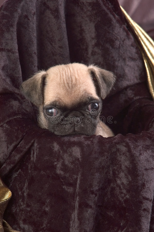 Download Pug Looking into Camera stock image. Image of cute, small - 18485