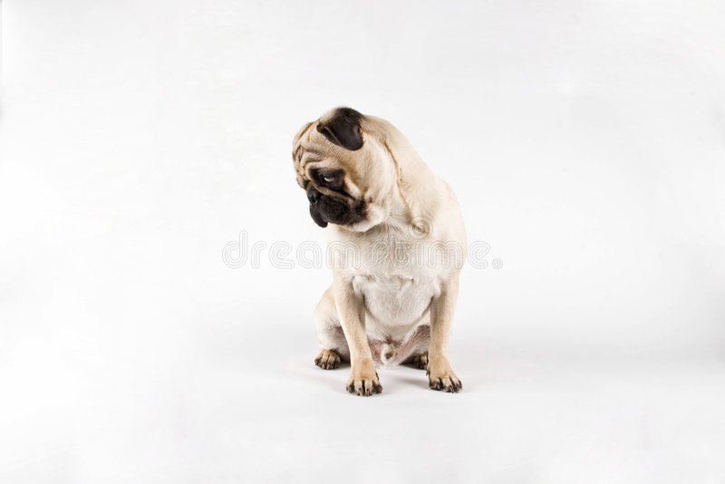 Pug looking at the floor royalty free stock photo