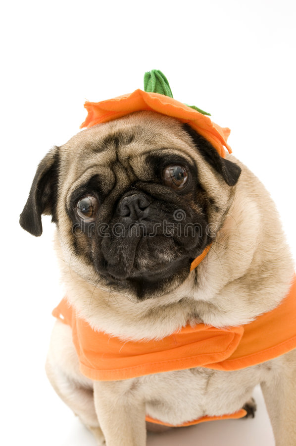 Pug louco de Halloween fotografia de stock royalty free