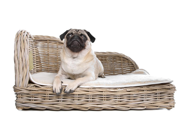 Download Pug on a luxury bed stock photo. Image of indoors, purebred - 25682528