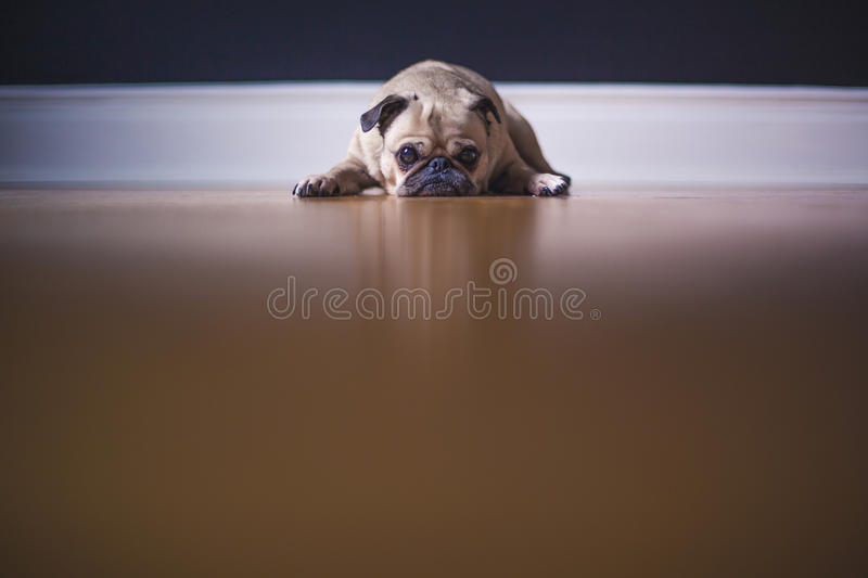 Pug Lying On Floor Free Public Domain Cc0 Image