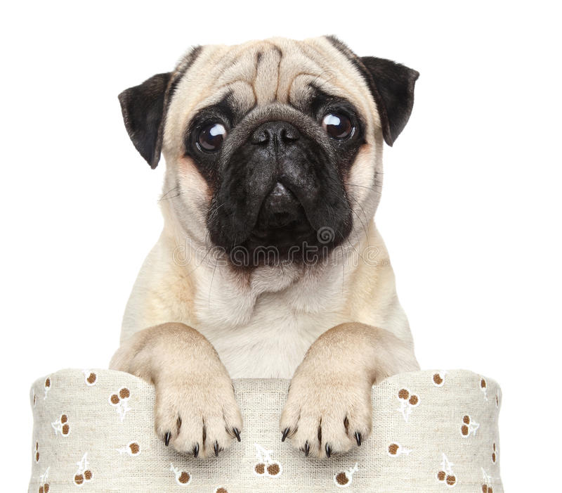 Pug in mand stock foto